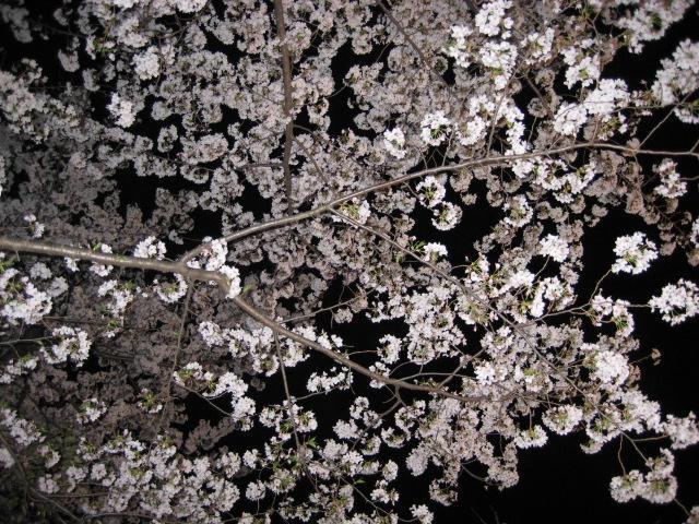 リバティヒルクラブ 夜桜